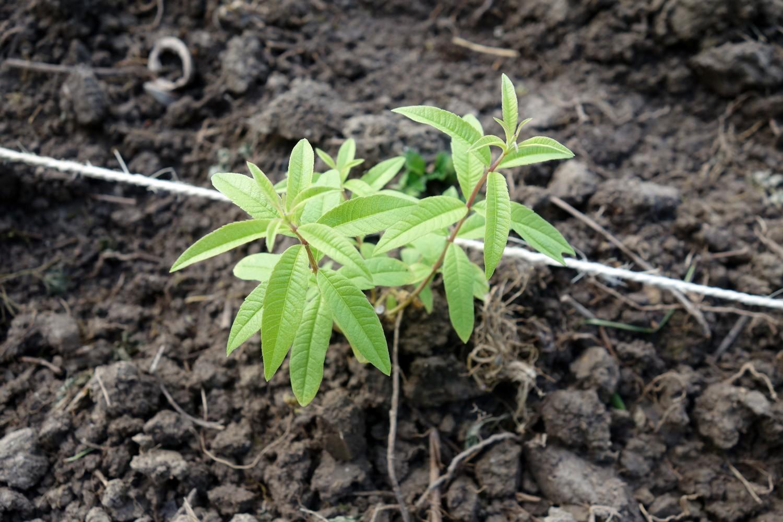 Plant de Verveine repiqué